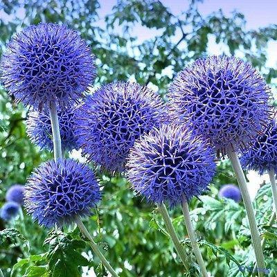 لعشاق الورد ...  أجمل الورود الزرقاء حول العالم|صور