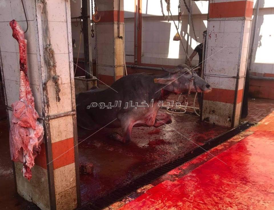 ضبط ومصادرة 17 كيلو لحوم مذبوحة خارج المجازر فى حملة تموينية بالغربية