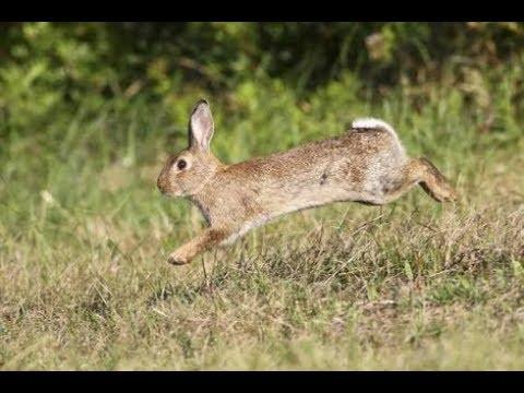 الأرانب البرية