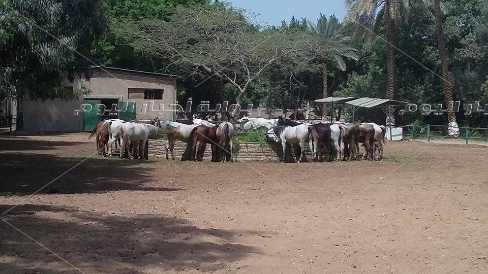 الحصان تجويد