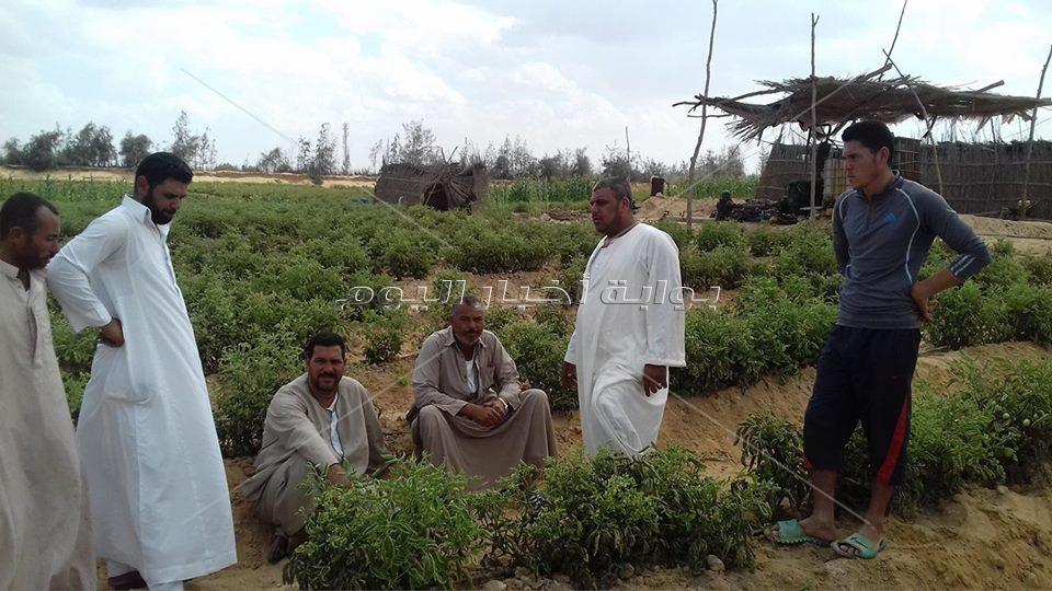 كارثة تجتاح محصول الطماطم