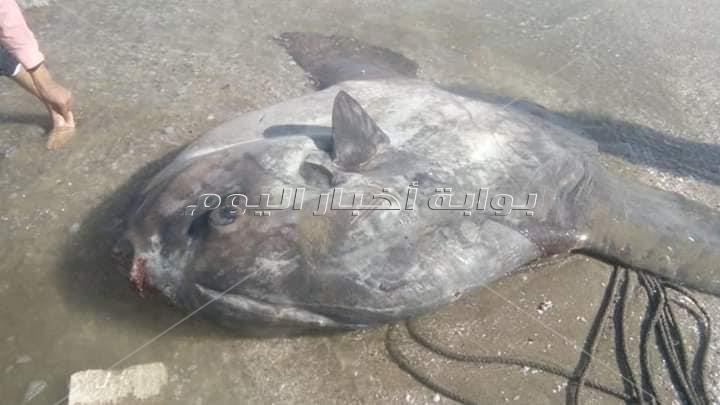 سمكة الشمس النادرة تظهر لأول مرة على شواطئ البحر المتوسط