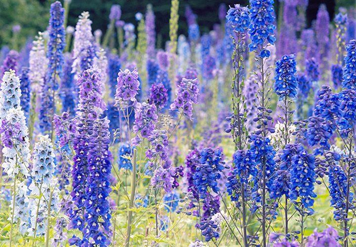 لعشاق الورد ...  أجمل الورود الزرقاء حول العالم صور