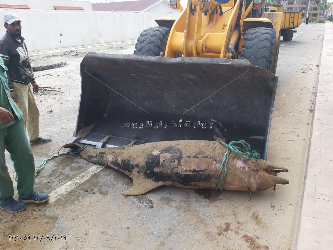 العثور على دولفين ذو المنقار نافق بشاطئ المعمورة بالإسكندرية