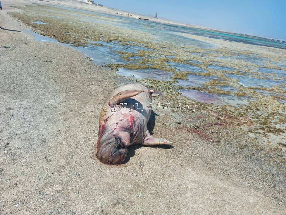 صور للحظات الأخيرة لعروس البحر النافق بمرسى علم