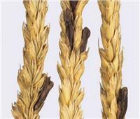 «مفوضي القضاء الإداري» تأمر بحجز إشكال حول «استيراد القمح الروسي»