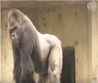 بالفيديو | حقيقة وجود «غوريلا» داخل حديقة الحيوان