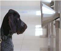 صور وفيديو  فتش عن «كورونا».. الكلاب البوليسية تكشف الفيروس القاتل في الإمارات