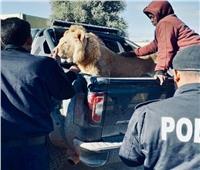 شاهد  القبض على أسد يتجول في الشوارع
