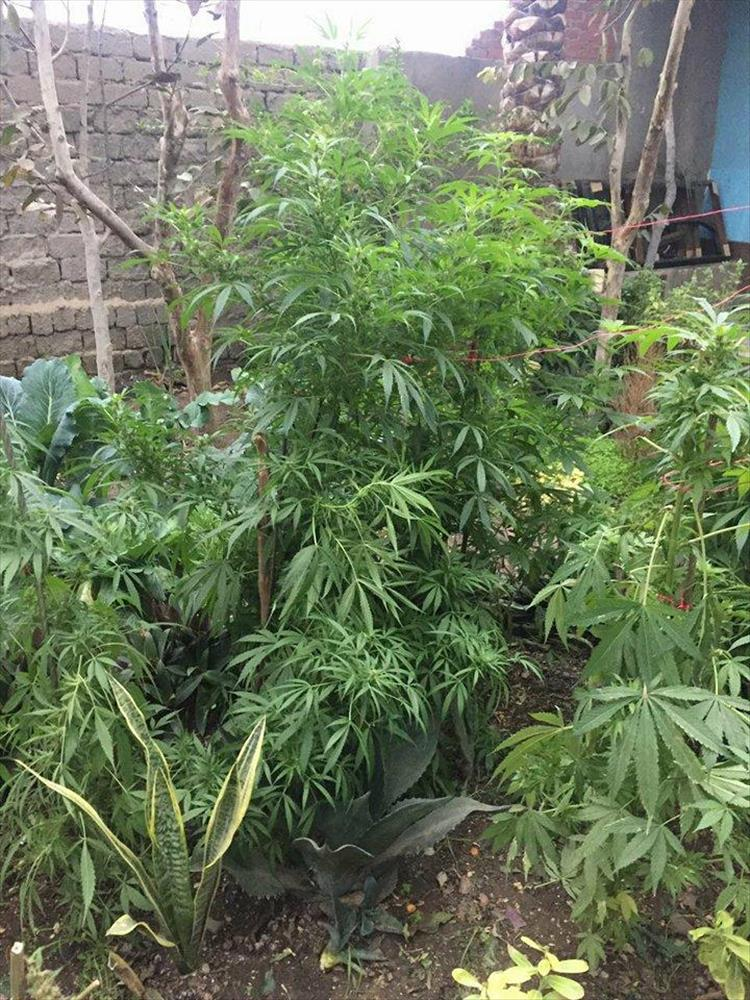أشجار النبات المخدر