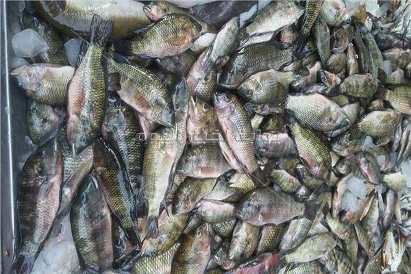 سمك الشبار «فياجرا الدمايطة»