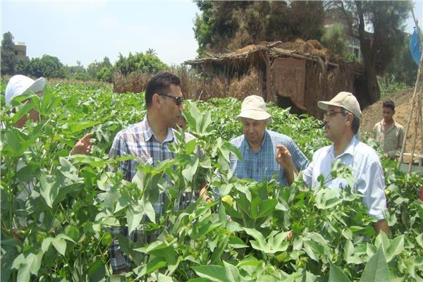مسئولو «الزراعة» يتابعون حالة المحاصيل بالقليوبية والمنوفية