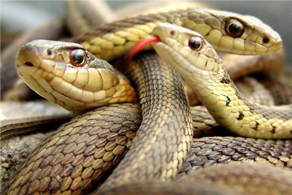 الأزمة مستمرة| «هجوم الثعابين».. تعددت الأسباب والحلول غائبة