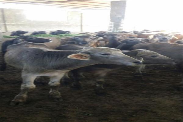 «الزراعة» تستأنف الحملات القومية لتحصين الماشية الشهر المقبل