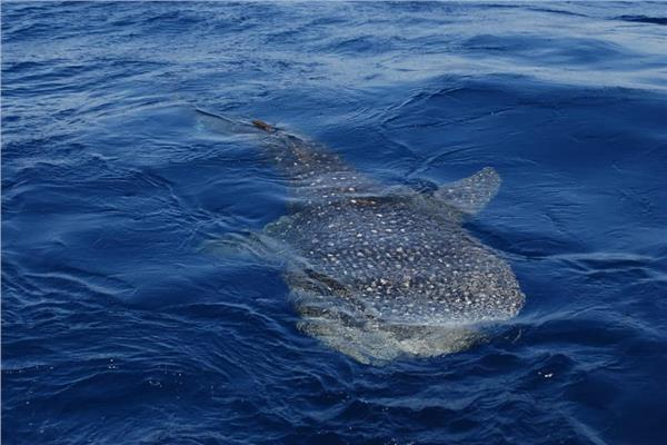 القرش الحوتى بالغردقة