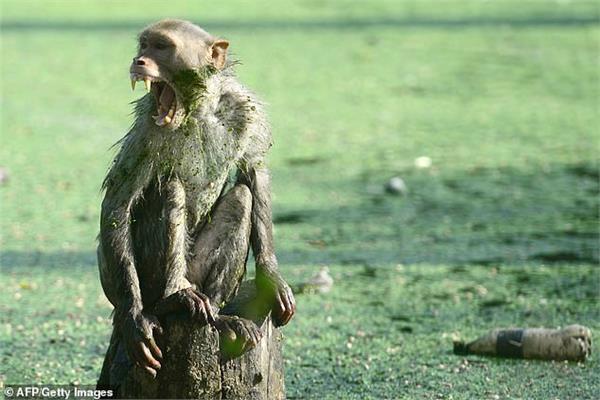 القرد السفاح