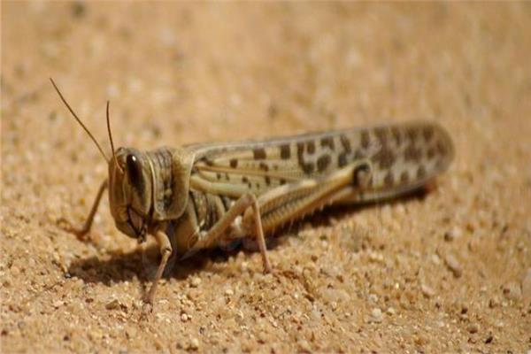 الزراعة تواصل حملاتها على المناطق الحدودية لرصد ومواجهة «الجراد الصحراوي»