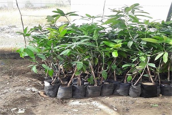 «الزراعة» تصدير 127 ألف شتلة فاكهة تنطبق عليها المواصفات