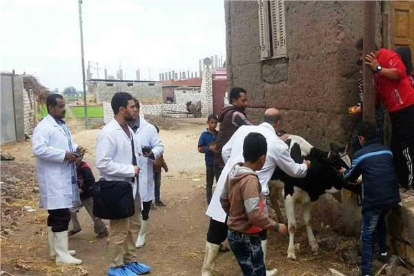 تحصين ٧٥ ألف رأس ماشية بالشرقية ضد الحمي القلاعية والوادي المتصدع
