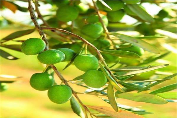 لمزارعي الزيتون..نصائح لحماية المحصول من التغيرات المناخية