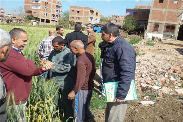 لجنة زراعة المنوفيه بمزارع القمح