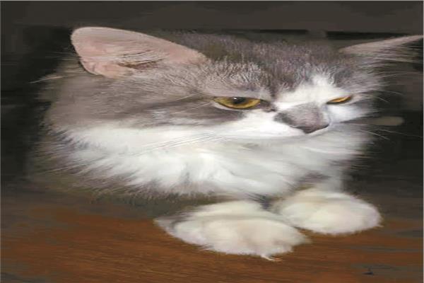 مسالم وغلبان ومّتعقم.. شروط قاسية لتبني القط المصري «سكر»
