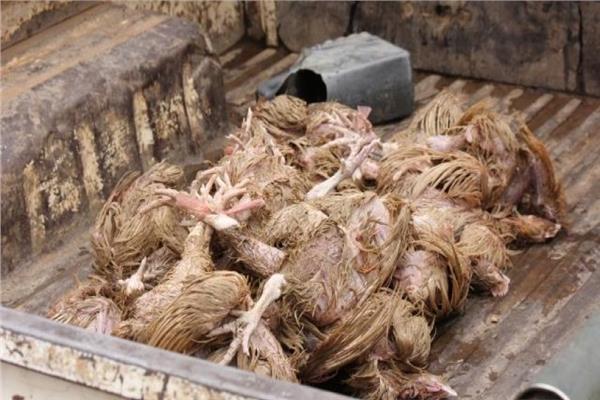 دجاج نافق