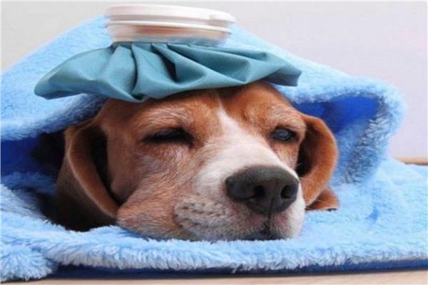 انفلونزا الكلاب