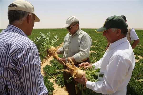 زراعة بنجر السكر بمشروع غرب غرب المنيا
