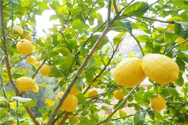 تعرف على أسباب ارتفاع الليمون في ذلك التوقيت من كل عام