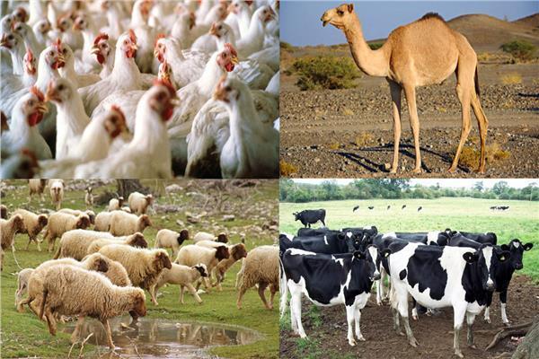 الثروة الحيوانية والداجنة