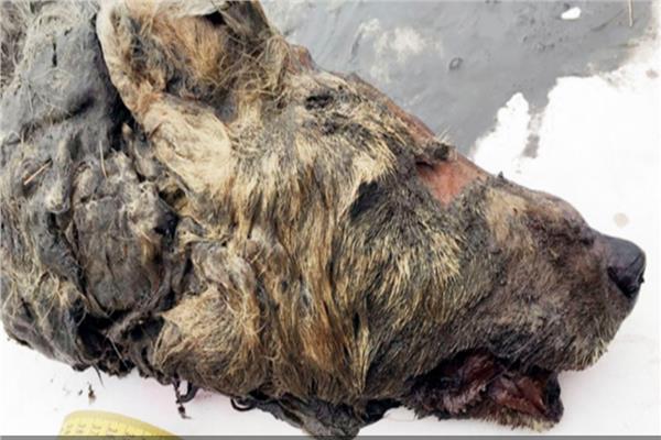 رأس ذئب مقطوعة فى الجليد