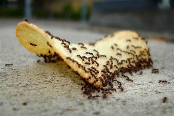 3 وصفات طبيعية للقضاء على «النمل والصراصير»