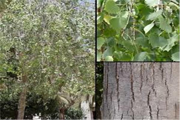 أشجار «الحور» أنواع وفوائد بالجملة...تعرف عليها