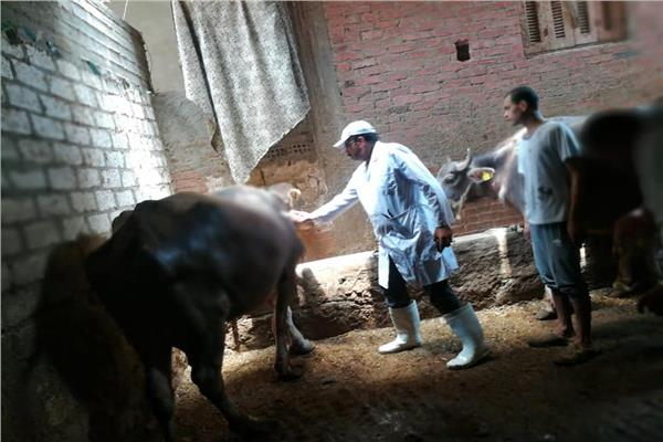 الزراعة: تحصين 252 ألف رأس ماشية ضد الحمي القلاعية