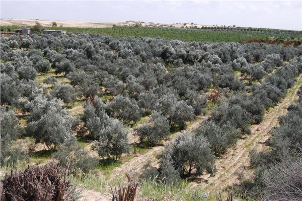 شمال سيناء تتصدر العالم في زيت الزيتون والمحافظ: إنشاء ١٢ تجمعا زراعيا جديدا