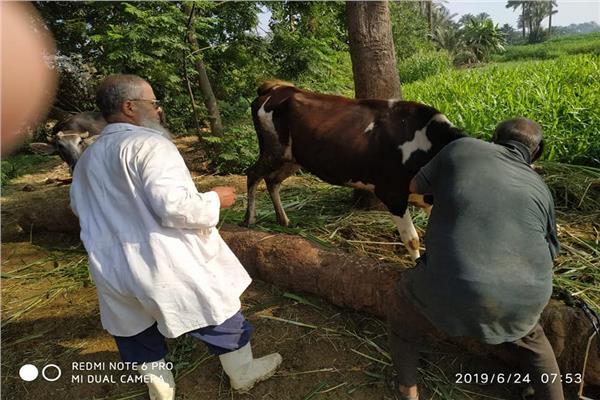 تحصين 384 ألف رأس ماشية ضد مرض الحمي