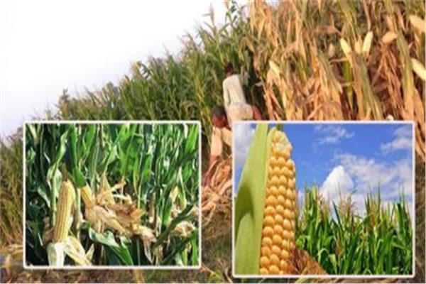 الذرة الشاميه و الذرة الرفيعه