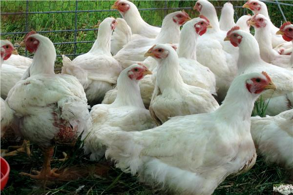 تحصين «الطيور الداجنة» بكفر الشيخ من الأمراض الوبائبة
