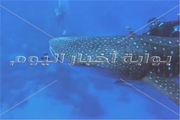 القرش الحوتى بهلول