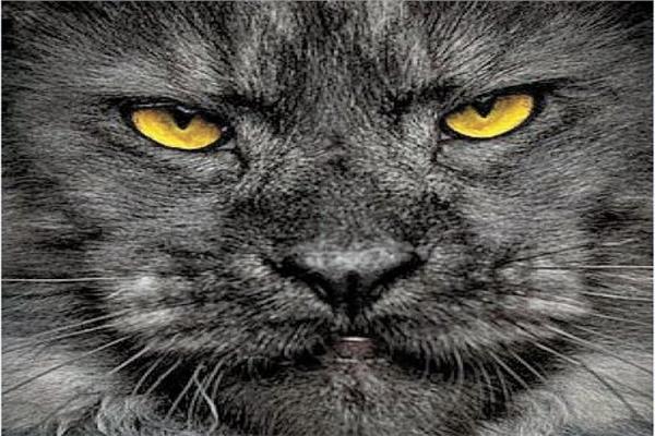 «فيفو» ملك القطط