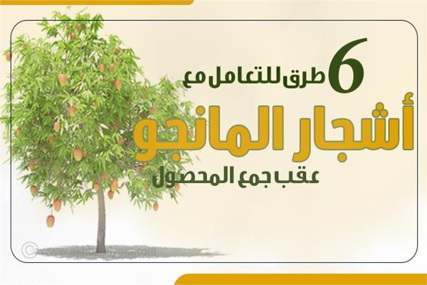 انفوجراف| 6 معلومات طريقة التعامل مع أشجار المانجو عقب جمع المحصول