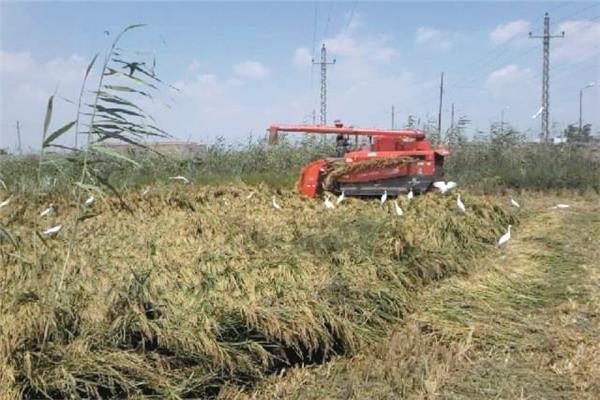 صور| انطلاق موسم حصاد الأرز.. وأجهزة الدولة تطارد المخالفين