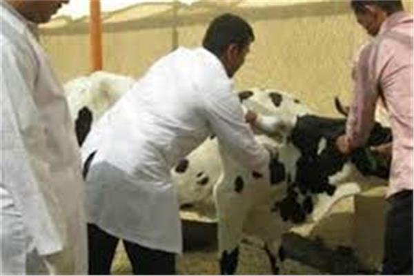 تحصين روؤس الماشية ضد الأمراض الوبائية