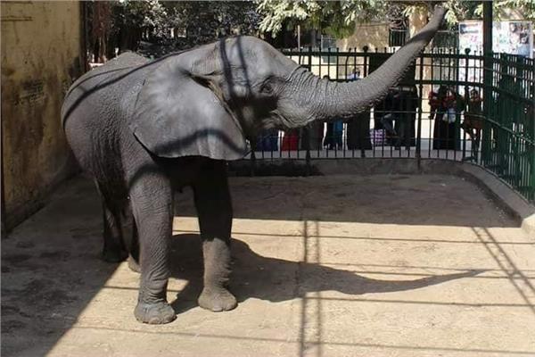 حديقة الحيوان بدون «فيل» لأول مرة بالتاريخ.. والأطفال يسألون عن «نعيمة»
