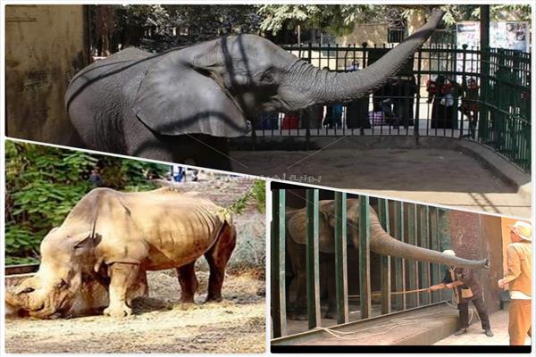 الفيل والخرتيت تجاوزا السن الطبيعي في حديقة حيوانات الجيزة