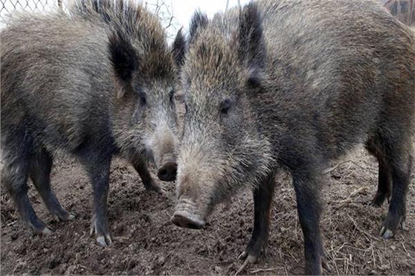 الخنازير البرية تتسبب الرعب لمزارعي إيطاليا