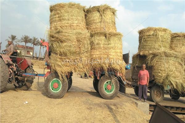 ش الأرز «ثروة قومية» مهدرة