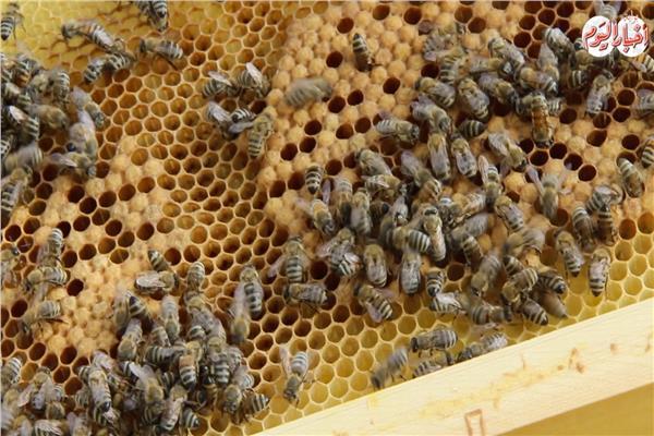 في الأول لدغة وفي الأخر عسل.. تعرف على دورة إنتاج العسل