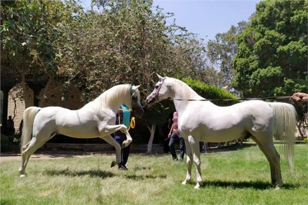 محطة الزهراء للخيول العربية